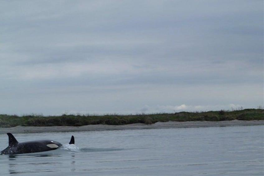 Orca visit Ohiwa several times a year