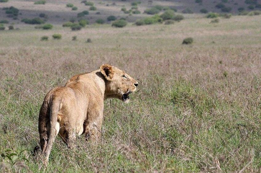 Lion in Nairobi