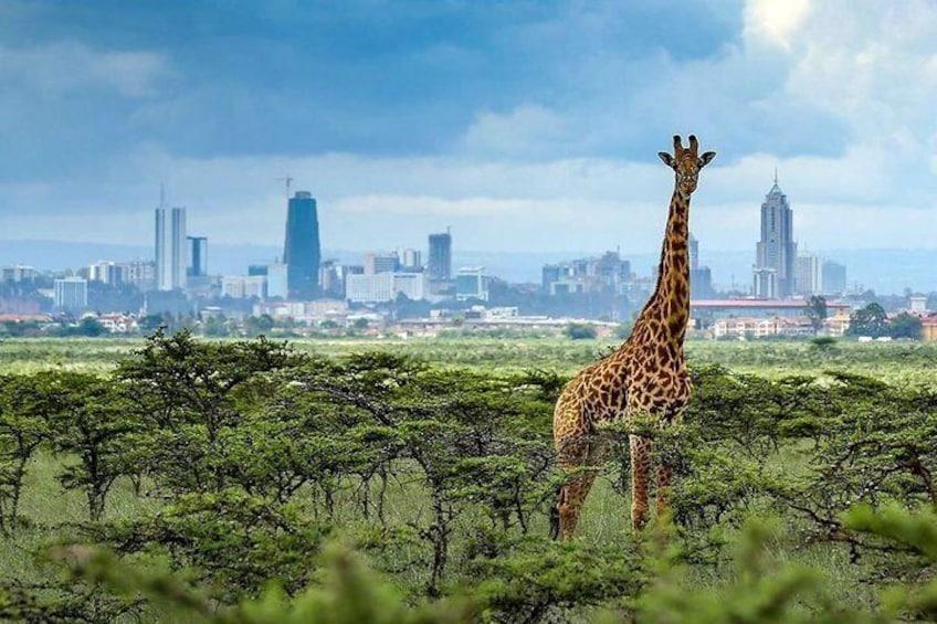 Early morning Nairobi national park Elephant orphanage and Giraffe center tour