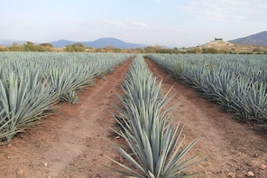 Day Trip to Tequila with Visit to your favourite Distillery