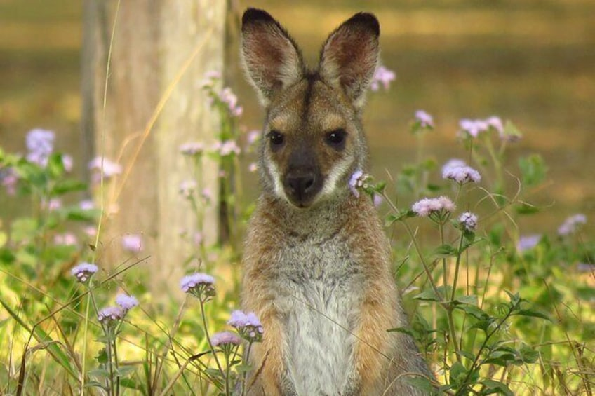 Show item 3 of 11. Red necked wallaby