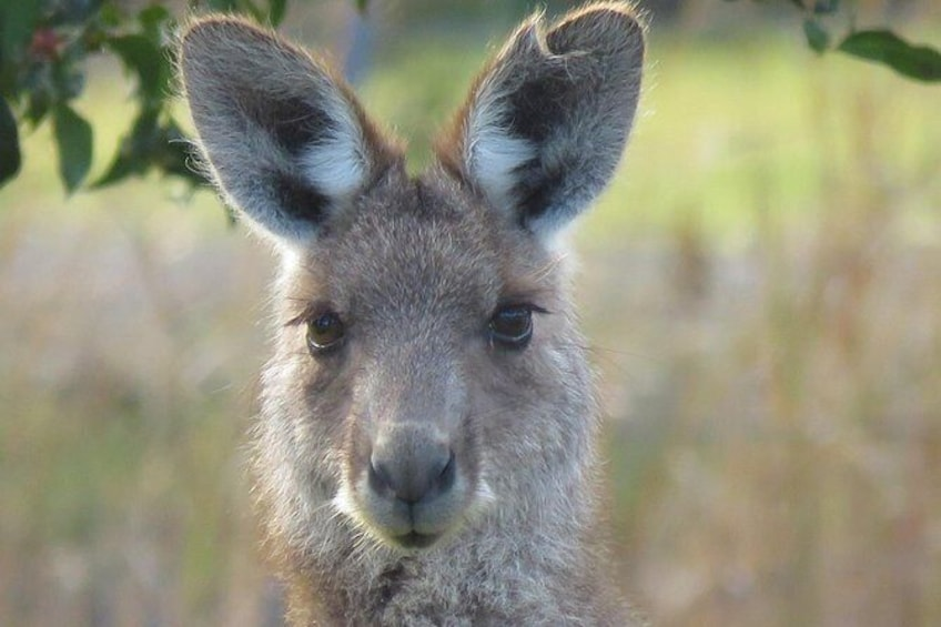 Show item 4 of 11. Eastern grey kangaroo