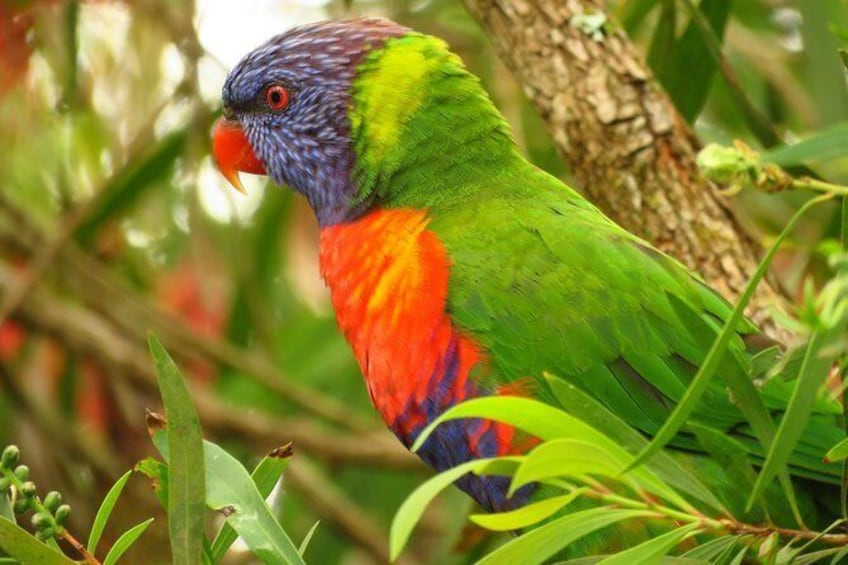 Show item 5 of 11. Rainbow lorikeet