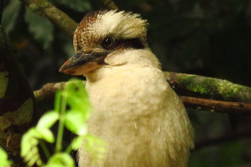 Show item 2 of 11. Kookaburra