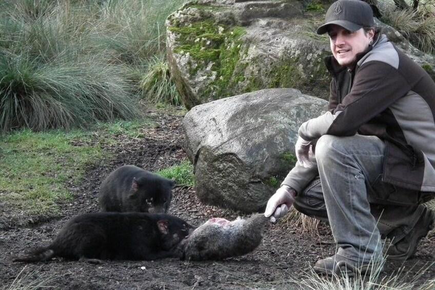 Tasmanian devil group feed