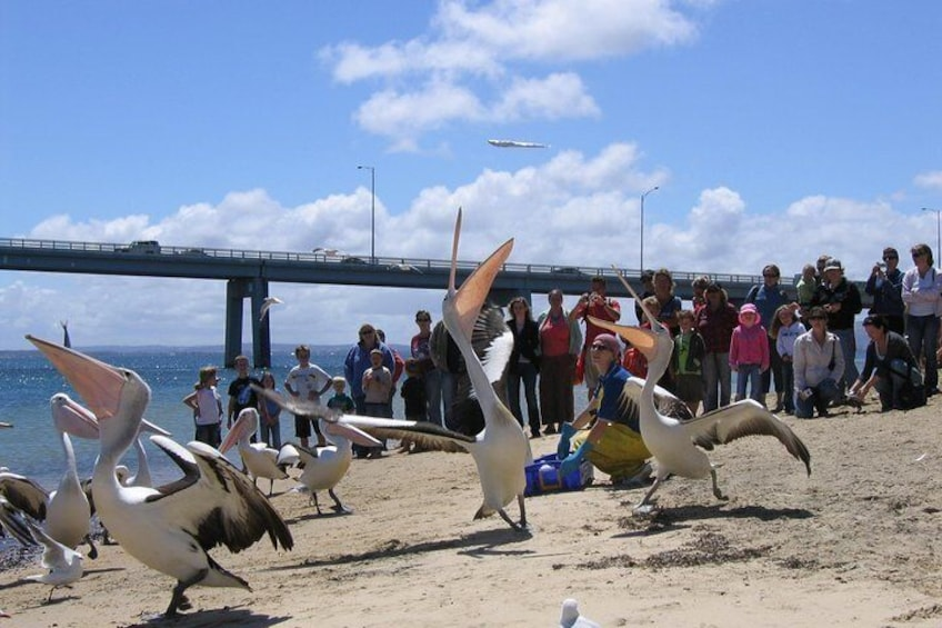 Pelican Feeding in San Remo
