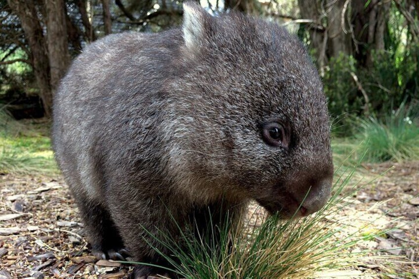 Pancake the Bare Nosed Wombat