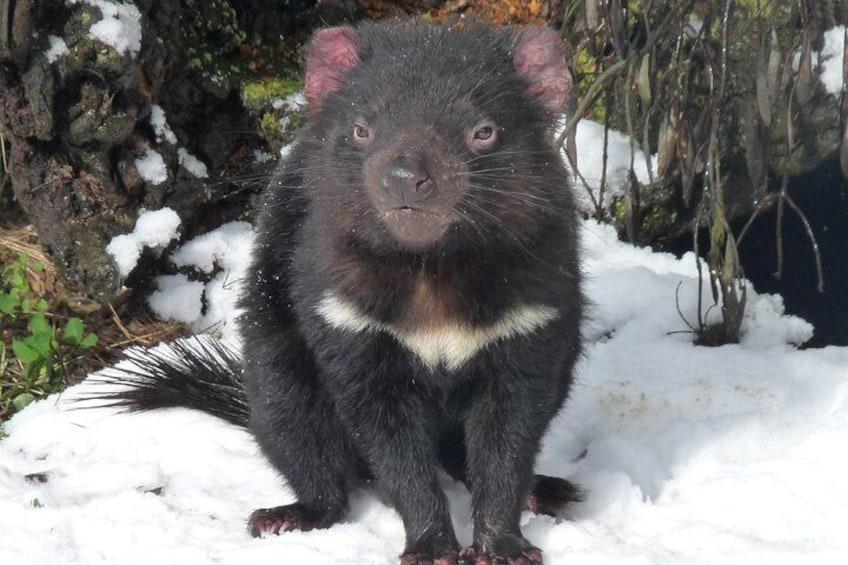 Devil in snow