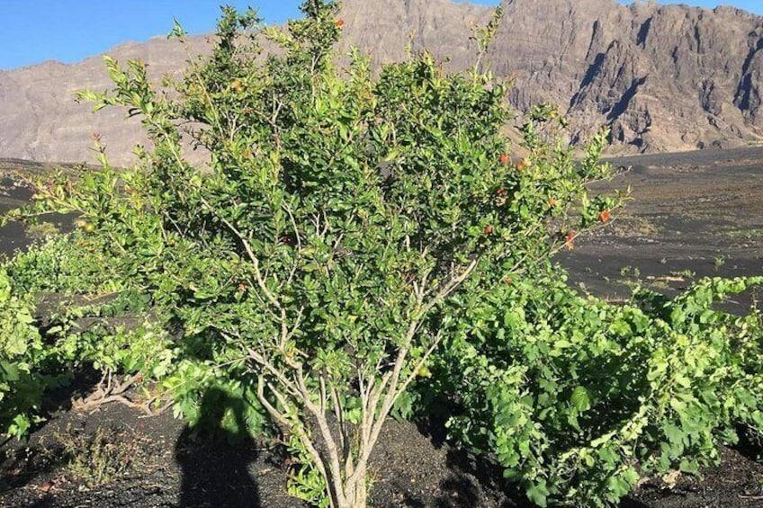 Show item 5 of 5. Viagem para o vulcão visitar plantação de café  conher um pouco das praia de mar