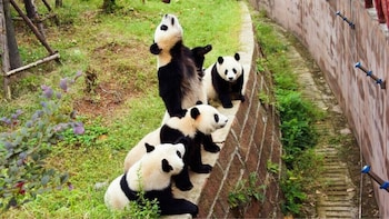 Half-Day Private Tour Chengdu Panda Breeding Research Base