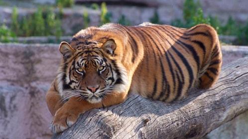 Bengal Tiger at Barcelona Zoo