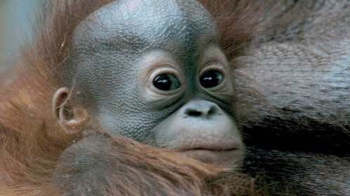 infant chimpanzee at Barcelona zoo