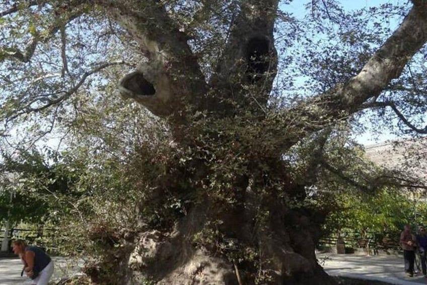 Tree at Krassi