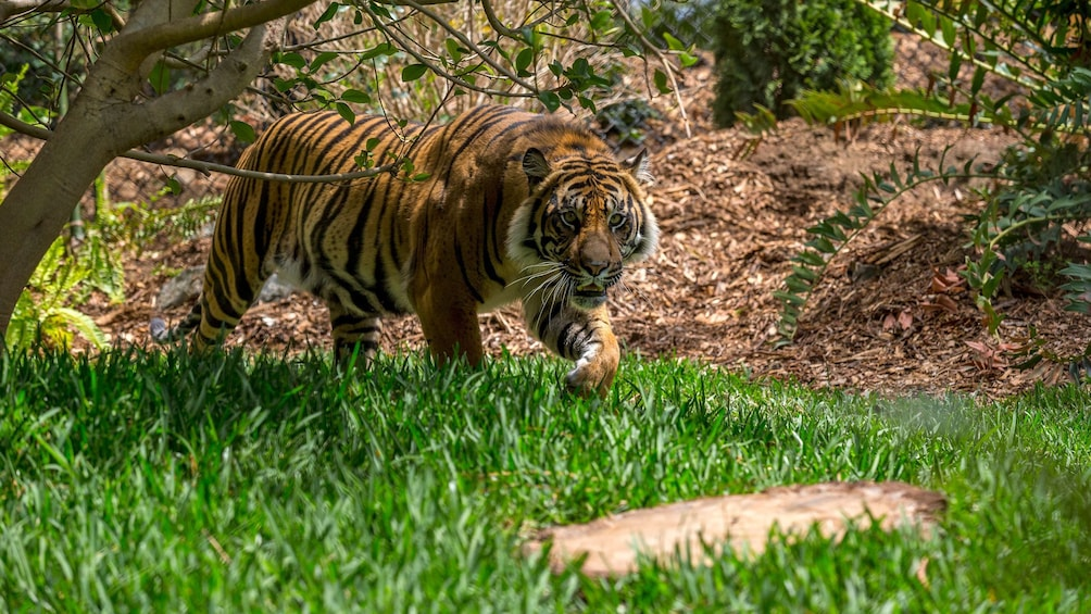 Show item 8 of 8. Tiger at the San Diego Zoo