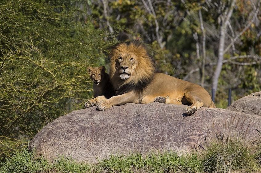 Carregar foto 5 de 8. San Diego Zoo Safari Park