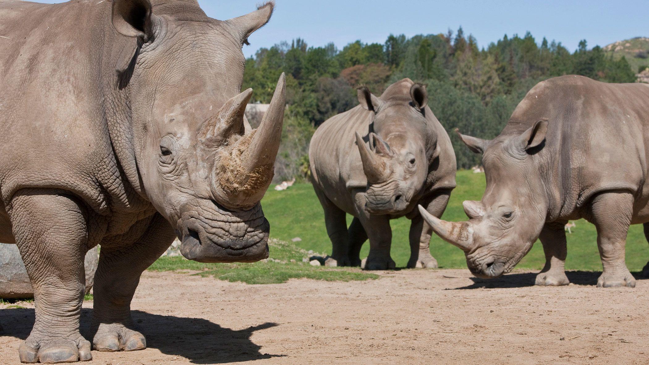 Rhinos at the Safari Park in San Diego Zoo