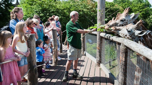 Guide feeding giraffes at the ZSL London Zoo