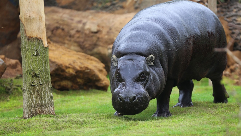 Show item 3 of 8. a large hippopotamus at a zoo in London