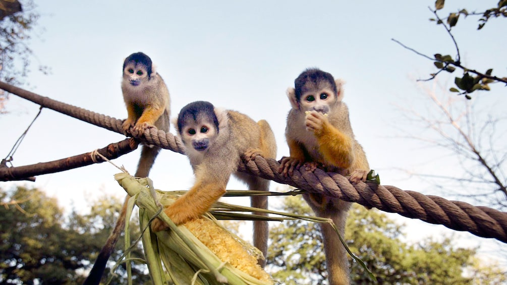 Show item 2 of 8. Three spider monkeys on rope at a zoo in London