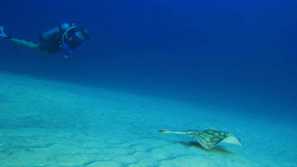 Show item 1 of 10. scuba diver swimming with sea ray in Los Cabos