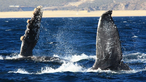 Pair of humpback whales raising flippers out of water in Los Cabos