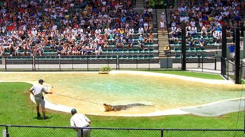 Crocodile wranglers at the zoo in Australia