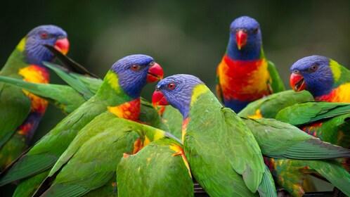 Flock of parrots at Currumbin Wildlife Sanctuary in Gold Coast