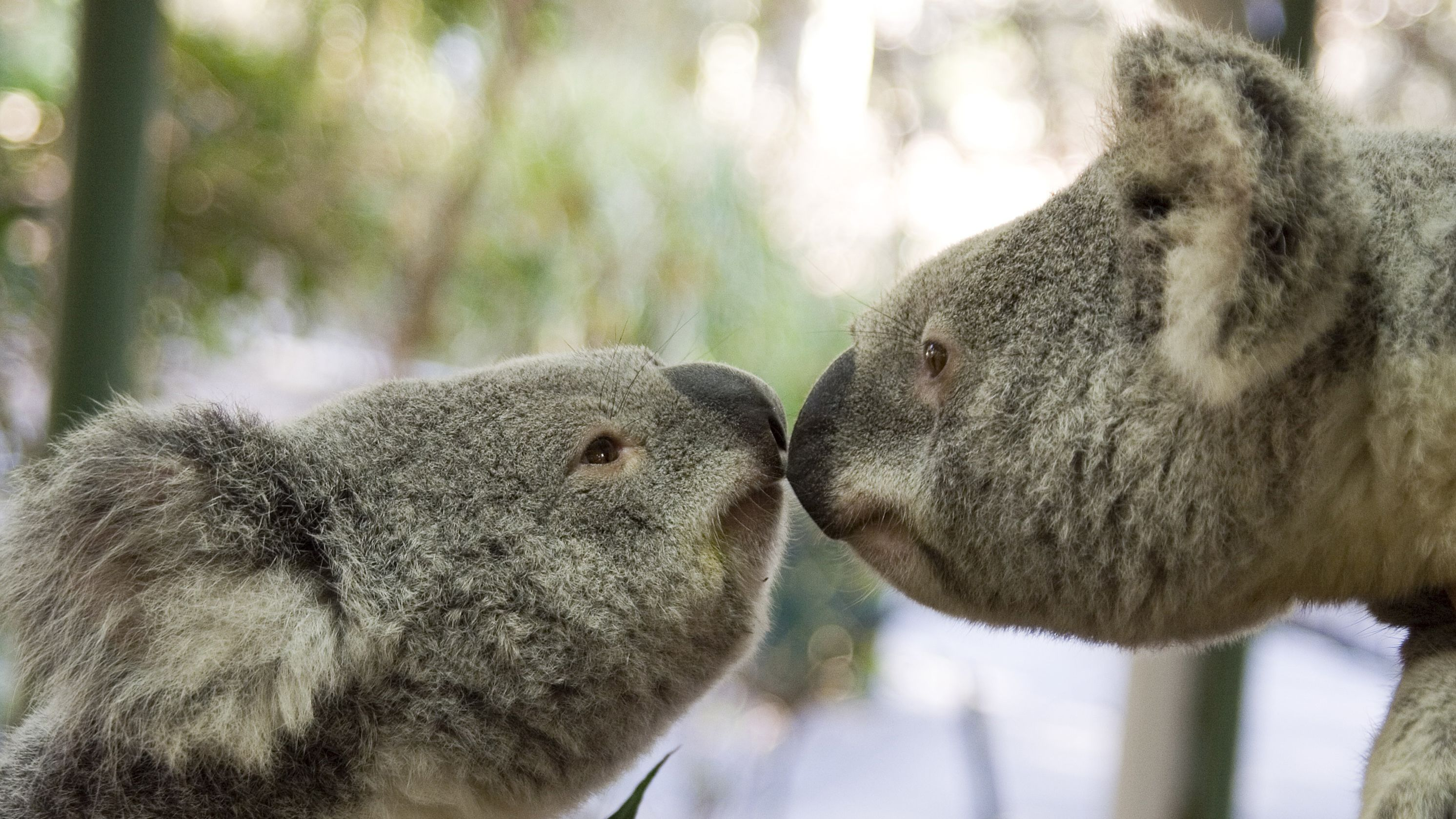 Two koalas looking at each other at the Lone Pine Koala Sanctuary in Brisbane