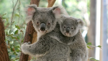Lone Pine Koala Sanctuary Day Admission