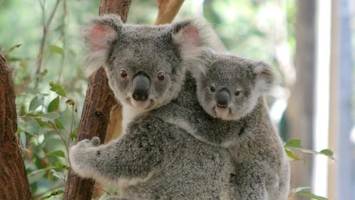 Lone Pine Koala Sanctuary Day Admission