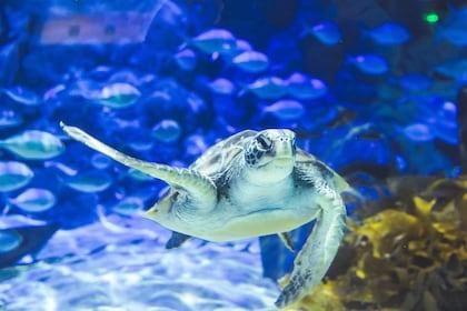A green sea turtle.jpg