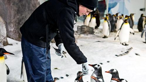 A man feeding penguins at an aquarium in Auckland