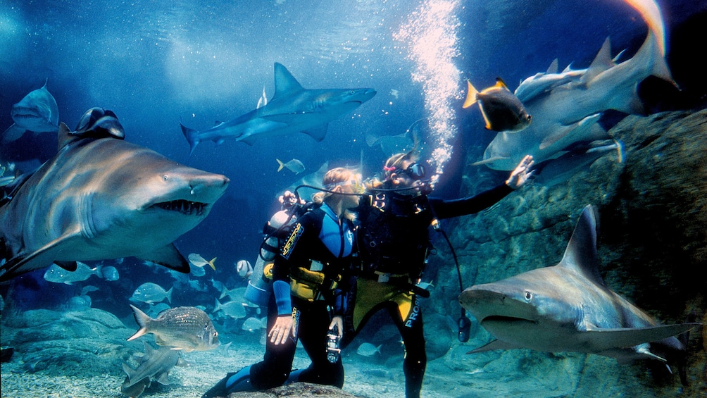 Scuba diving couple interacting with sharks in a tank at the SEA LIFE Aquarium in Melbourne