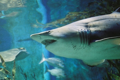 Grey Nurse Shark 1.JPG