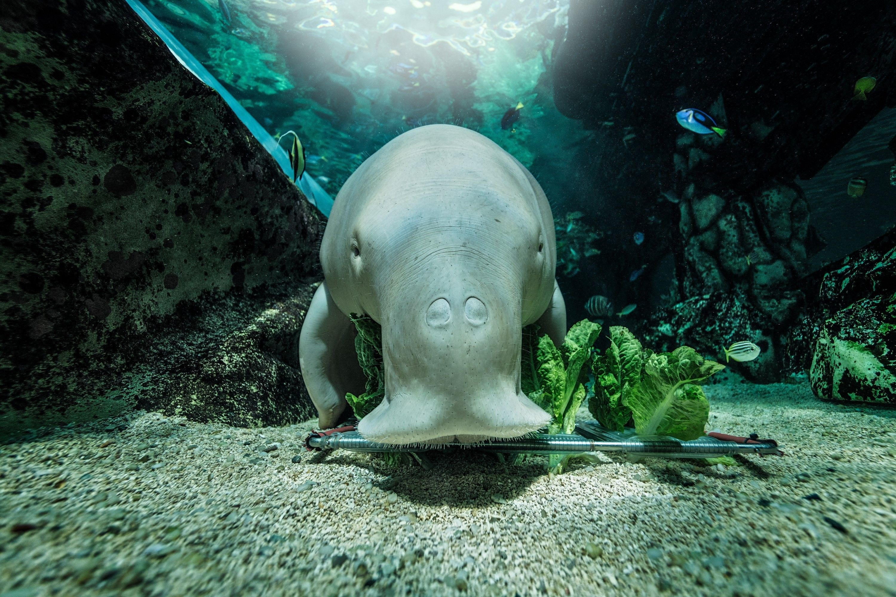 Wuru the Dugong enjoys her lettuce with Regal Blue Tangs hanging in the background.jpg