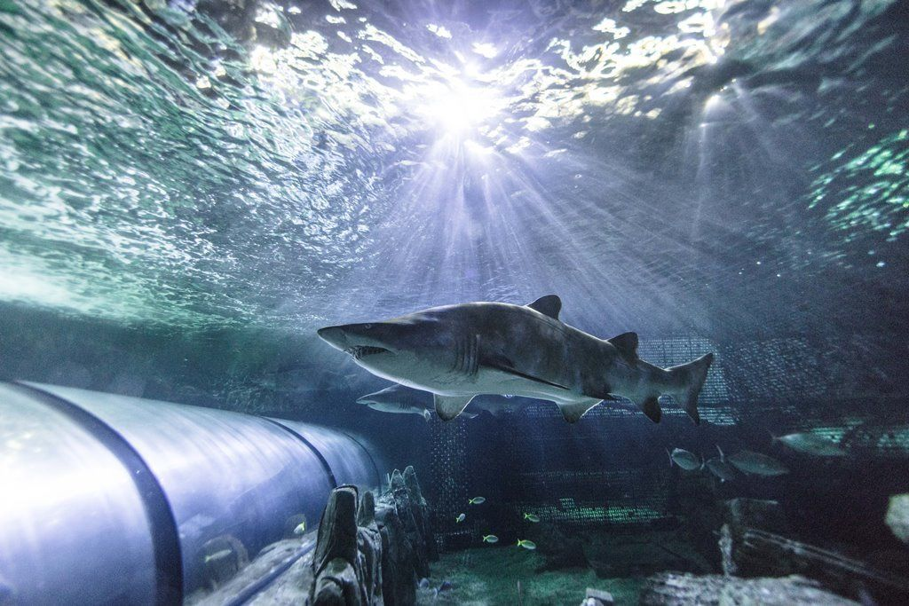 SLSA - Grey Nurse Shark.jpg