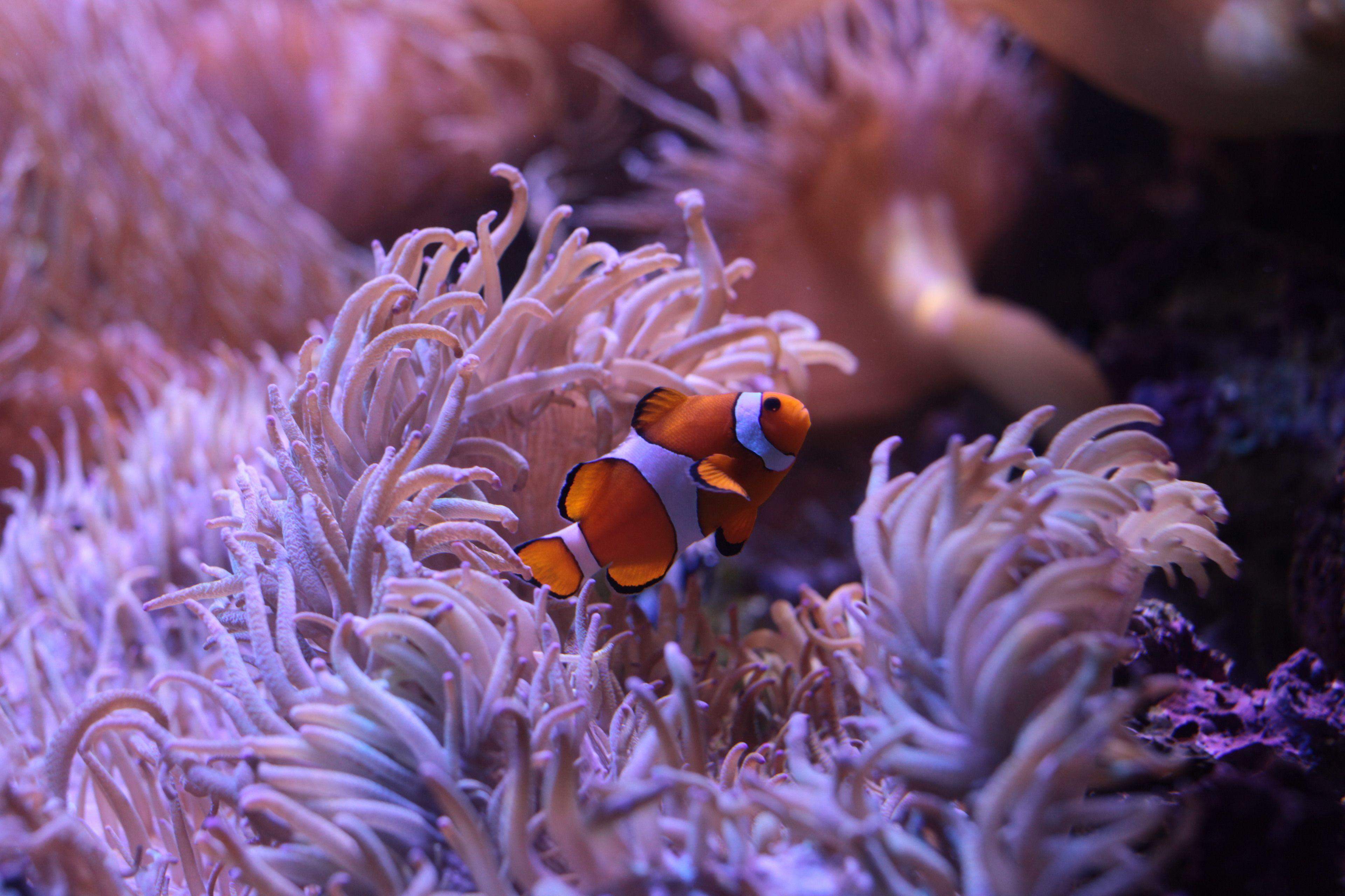 Clown Anemonefish at SEA LIFE Sydney Aquarium.JPG
