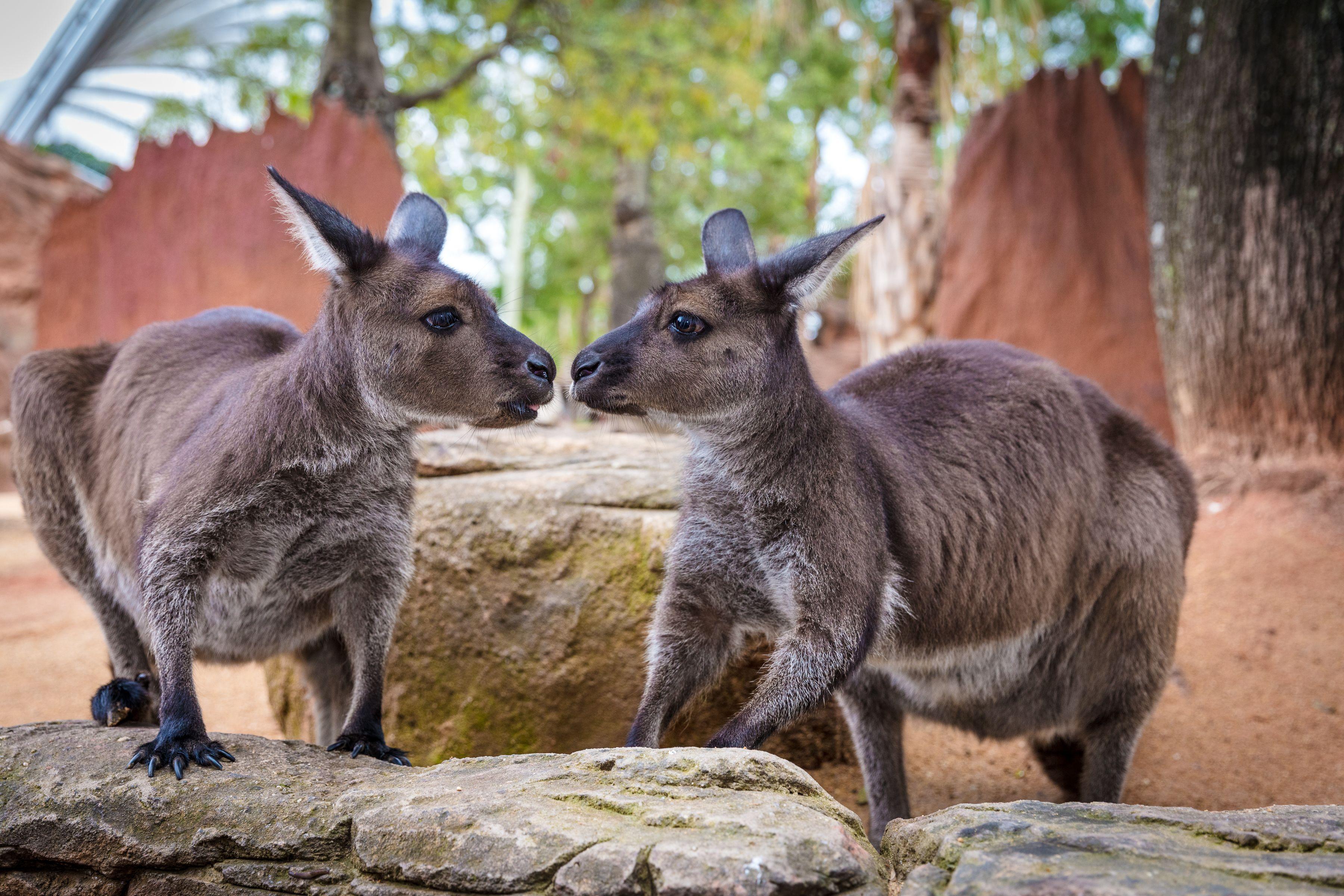 Kangaroos at WILD LIFE Sydney Zoo.jpg