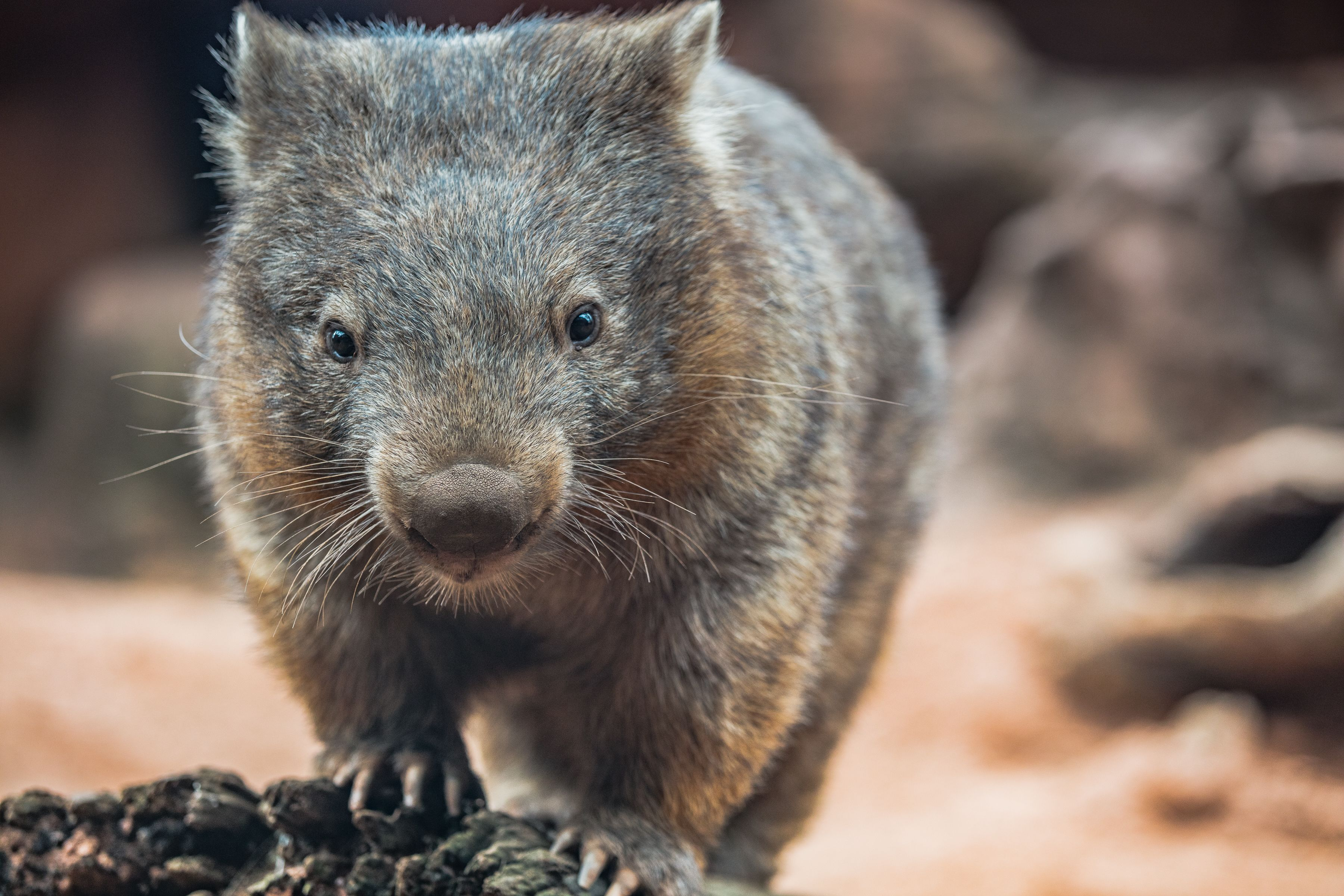 Wombat Hero Image (2).jpg