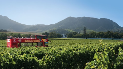 Traveling through the vineyard by bus in South Africa