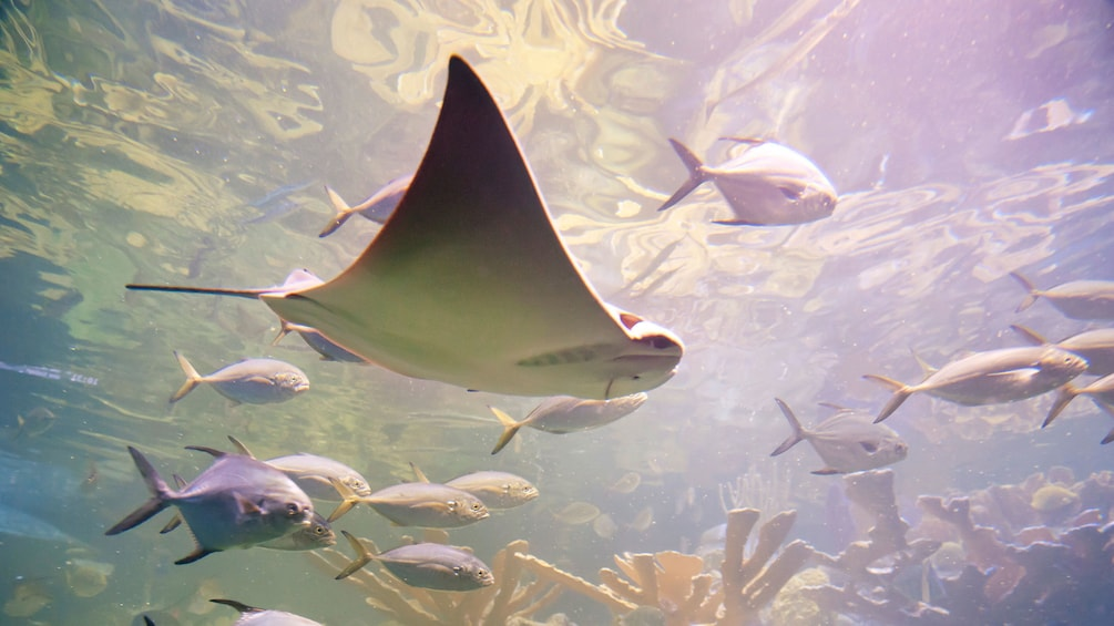 Show item 2 of 10. Cownose Ray swimming with other fish at the New England Aquarium in Boston