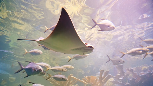 Cownose Ray swimming with other fish at the New England Aquarium in Boston