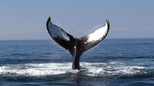 Humpback Whale tail emerging from the water in Boston