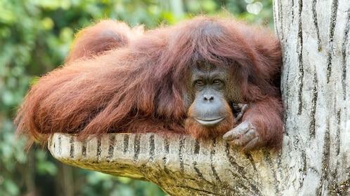 an orangutan resting in a tree in penang
