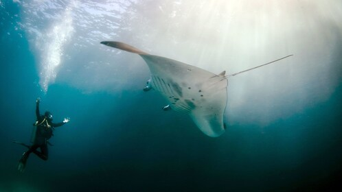 Scuba diver and manta ray in Bali