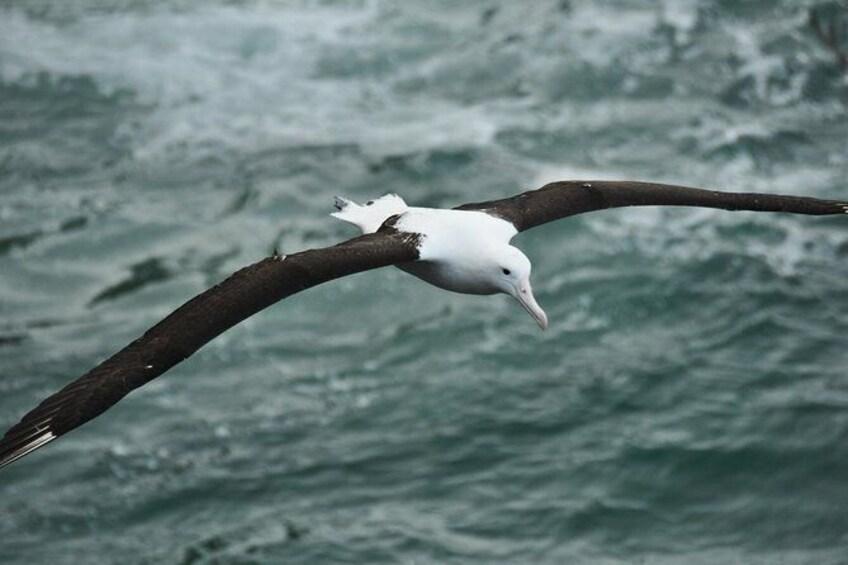 Show item 10 of 10. Dunedin Shore Excursion: Royal Albatross Centre & Yellow-Eyed Penguins
