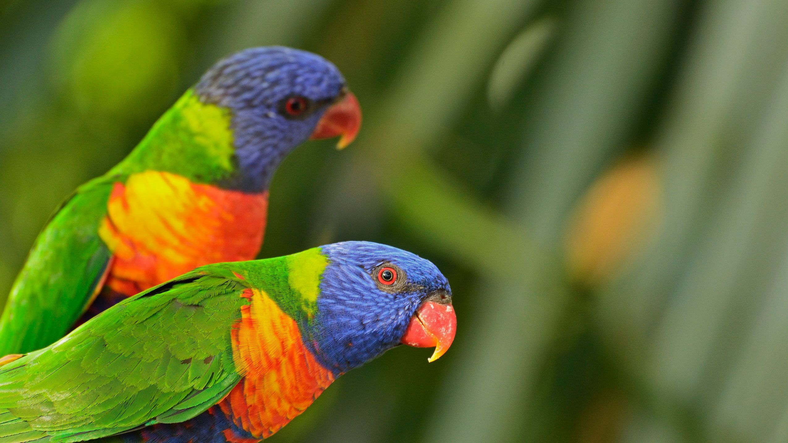 Pair of colorful tropical birds in St Lucia