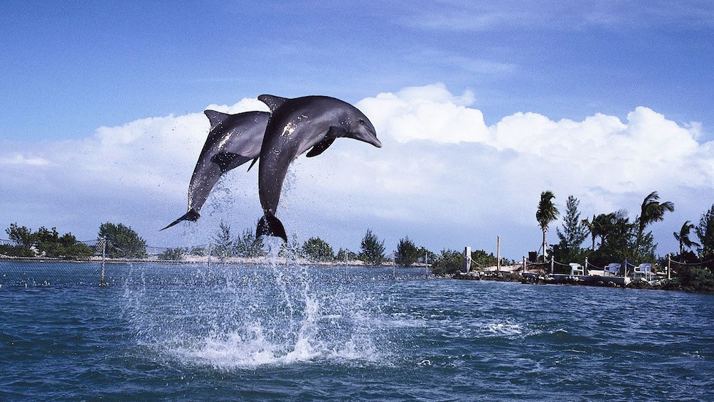 Show item 1 of 8. Pair of dolphins leaping out of the water in St Lucia