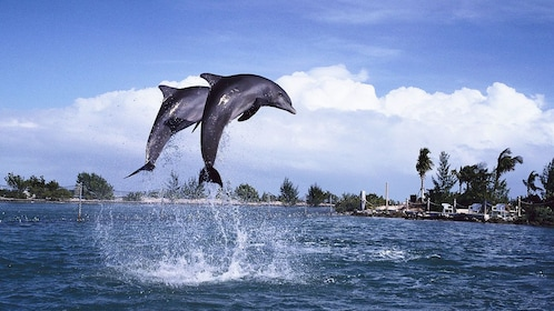 Pair of dolphins leaping out of the water in St Lucia