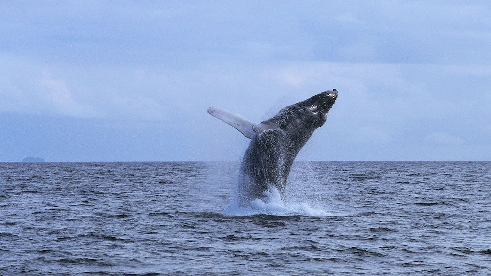 Show item 3 of 8. Humpback whale breaching in St Lucia